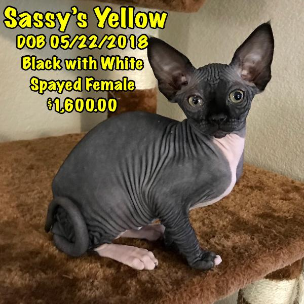 BareMews sphynx kittens for sale
